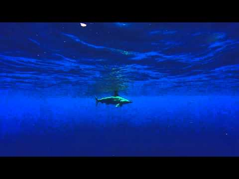 Scalloped Hammerhead Sharks - Epic Encounters 4