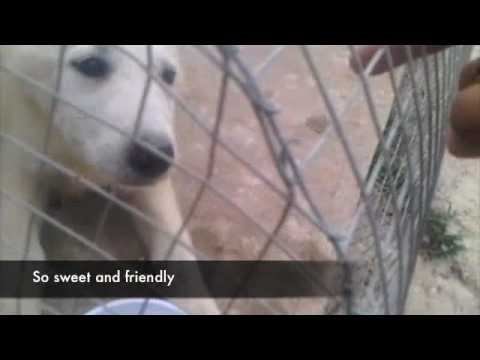 female puppy ( kuwait) (not available  for adoption )