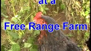 AIRGUN RATTING AT A FREE RANGE FARM