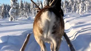 フィンランドのロヴァニエミ、ラップランドでトナカイそり体験!