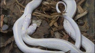 Mang con rắn bạch tạng 2 đầu đang h.ấ.p h.ố.i ở bìa rừng về cứu, đâu ngờ 9 năm sau nó quay lại...