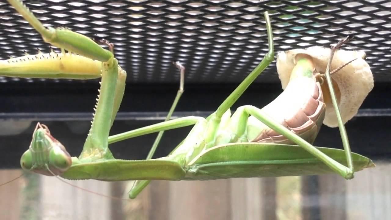 Praying Mantis Creating Egg Case Ootheca Youtube