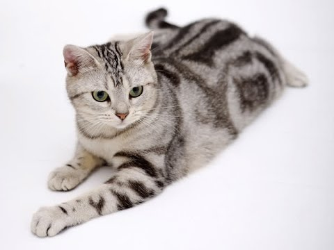 American Shorthair Cat Breed | Read This before Nurturing American Shorthair