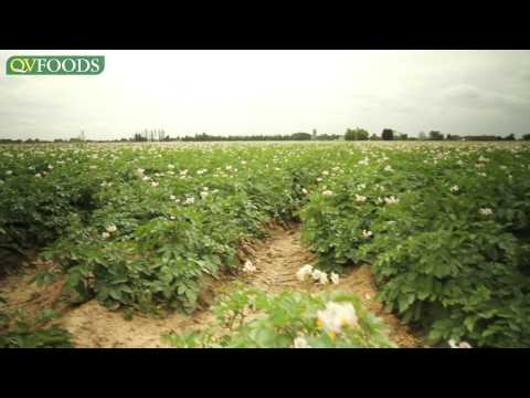 Growing potatoes, from field to supermarket