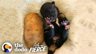Who's Cuter  Puppies or Kittens? | The Dodo Little But Fierce