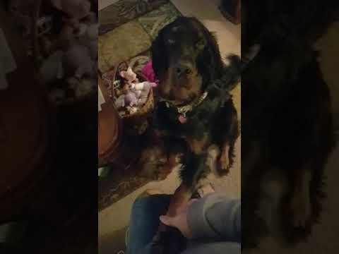 typical Gordon Setter demanding attention