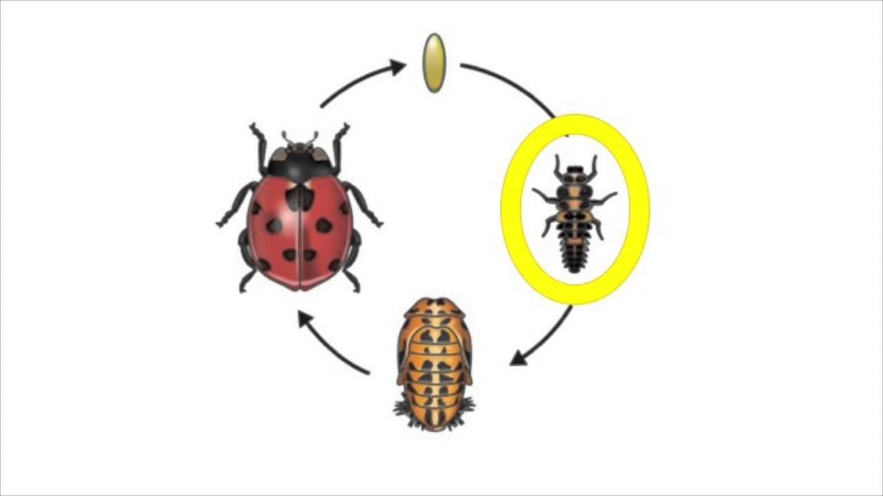 Life Cycle Of A Ladybug Youtube