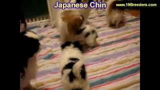 Japanese Chin, Puppies, For, Sale, In, Des Moines, Iowa, Ia, Bettendorf, Marion, Cedar Falls, Urband