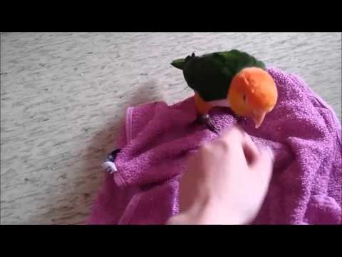 Teaching some caique stuff (Adult caique playing, baby caique watching)