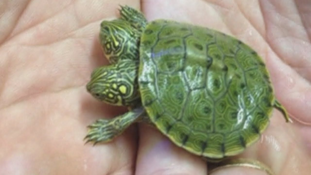 Two Headed Turtle In Texas Named Thelma And Louise Youtube