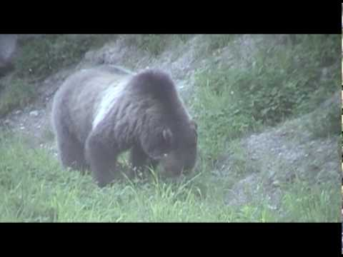 Bear encounter in Yellowstone National Park-Wyoming
