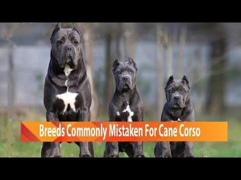 Dog Breeds Commonly Mistaken For Cane Corso