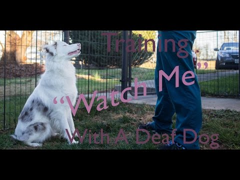 Teaching 'Watch Me' With a Deaf Dog