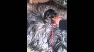 Cute Yorkie Puppy Lead Training