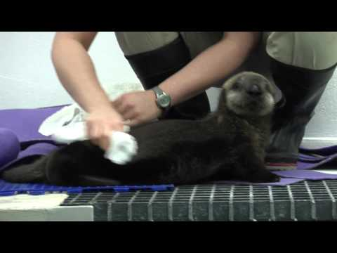 A Day in the Life of Shedd's Sea Otter Pup: Grooming