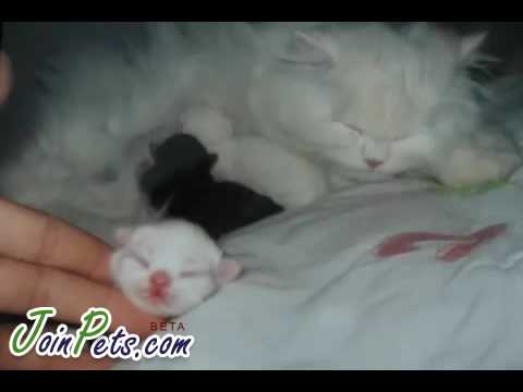Ragdoll cat giving birth