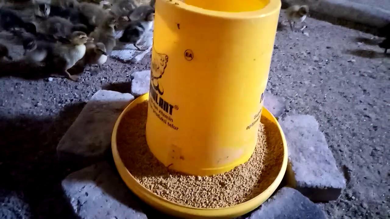 Bisnis Bebek Pemberian Pakan Pertama Pada Anak Bebek Youtube