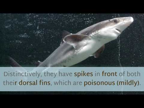 13 Cool Things You Should Know About Spiny DogFish