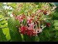 Rangoon Creeper🌾Madhu Malti/Combretum Indicum summer evergreen flowers vine