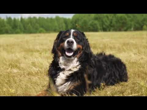 Bernese Mountain Dog - Dog Breed Information