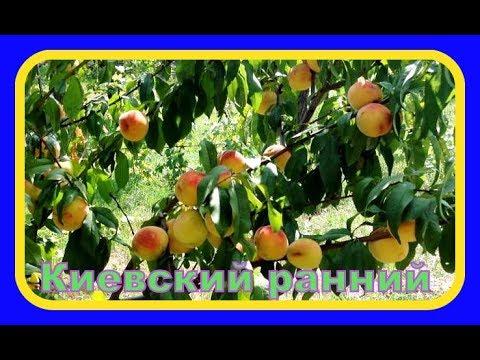 Персик сорт Киевский ранний / Peach cultivar Kiev early