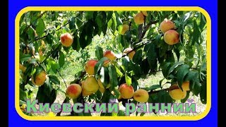 Персик сорт Киевский ранний / Peach cultivar Kiev early