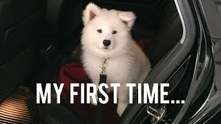 Samoyed Puppy's First Time...