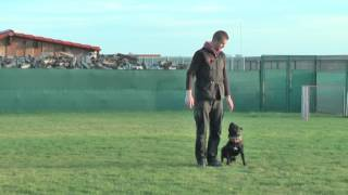Staffordshire Bull Terrier - Dog Distraction Training