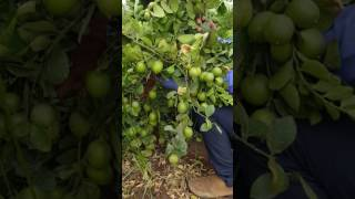 Seedless lemon farming