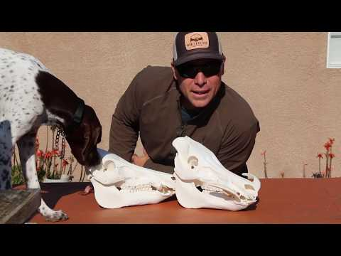 "HOW TO GET "" GREASE FREE""  PIG SKULLS"