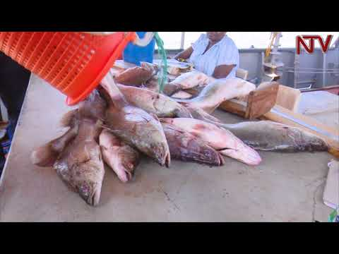 NTV GREEN: The Number Of Fish In Lake Victoria