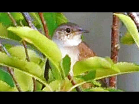 Carolina Wren at Great Blue Hill Summit 2 - July 12, 2015