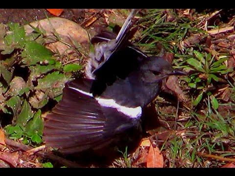 Oriental Magpie Robin (Female) Bird