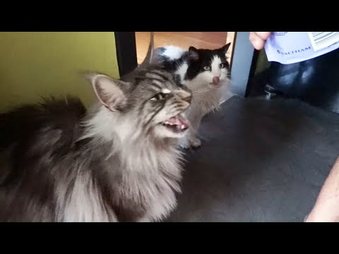 MAINE COON CAT meows meows Catisfactions !!
