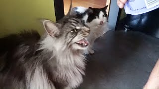 MAINE COON CAT meows meows Catisfactions !! Largest cat in the world