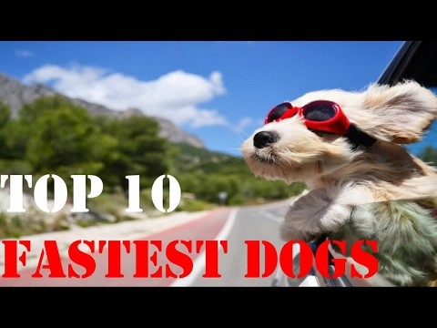 Top 10 Fastest Dogs