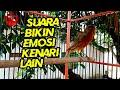 Masteran Burung Kenari Gacor Isian Mewah Durasi Panjang  Mp3 - Mp4 Download