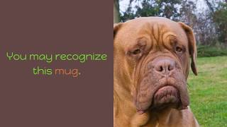 top 9 of the worlds largest dog breed 4 dogue de bordeaux
