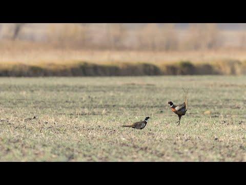 Iowa Pheasant And Quail Hunting   The Flush: Season 10, Episode 5