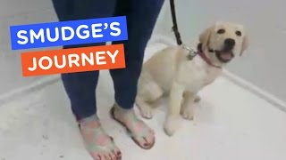 Guide Dog Puppy Learns To Climb Big Stairs | Smudge's Journey Ep 19 | The Dodo