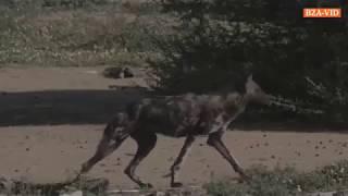 Дикие собаки атакуют часть 2