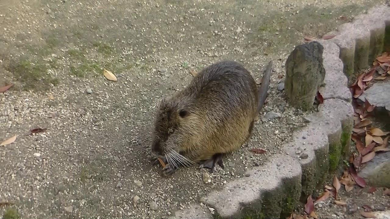 ヌートリア、最近こいつが大阪の街中にいるらしいです!!動画は天王寺動物園です!!