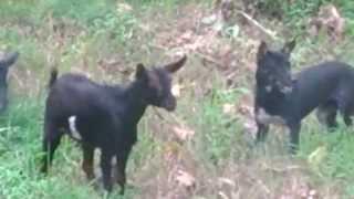 Kambing VS Anjing