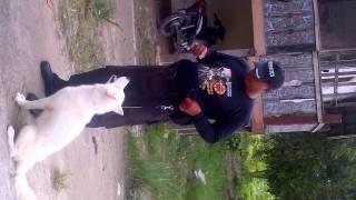 Melatih Siberian Husky Obidien Kepatuhan