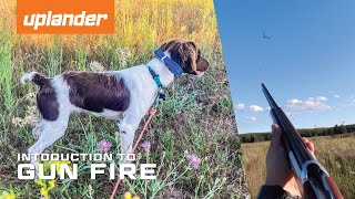 Bird Dog Gun Fire Introduction | 7 Month Old Brittany