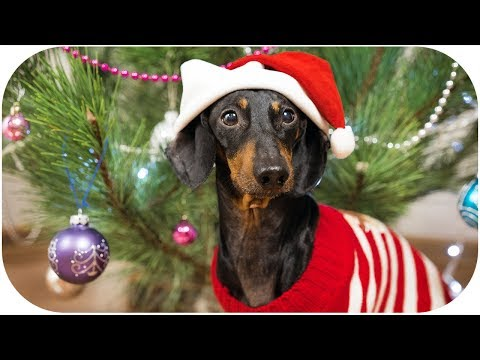 DOG decorating CHRISTMAS TREE! Funny animal video!