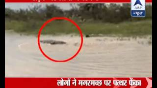 Crocodile crawling on roads of Vadodara, Gujarat