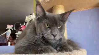 Cute & Funny Maine Coon cats