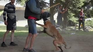 Обучение на кучета Лична Охрана