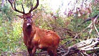 благородный олень - red deer - wildlife